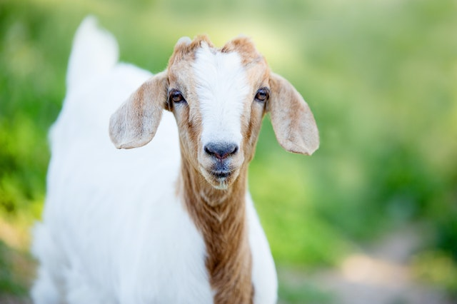 https://i.ibb.co/yWXszmd/online-goat-store.jpg