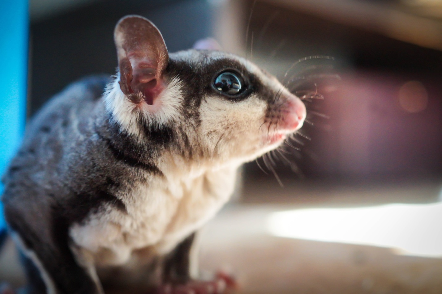 The Uncomplicated Guide to Sugar Glider Care