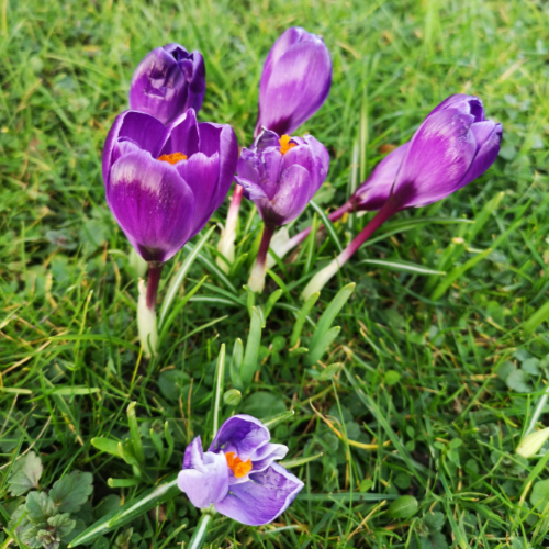An image of common crocuses in Newcastle upon Tyne.