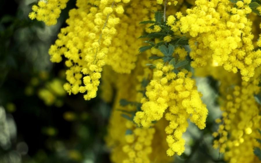 mimozazheltyypushistyymakro-yapfiles-ru
