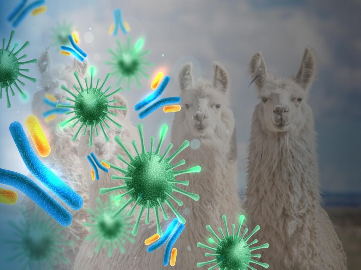 Nanoanticorpi dai lama usati per combattere il COVID-19, somministrati come spray nasale