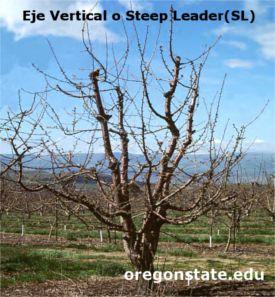 Formación de cerezos con el sistema de poda Eje vertical o Steep Leader (SL)