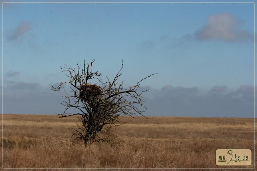 Гніздо крука Corvus corax на ділянці Ягорлицький Кут