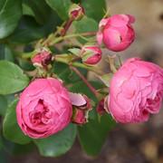 roze19