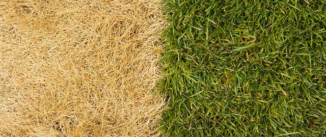 Here are 8 causes of yellow grass in your garden