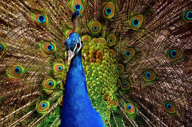 peacock-2479685-1920-1