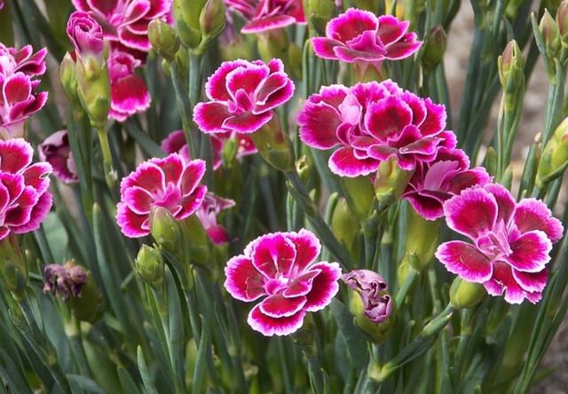 10 types of ornamental flower plants in pots
