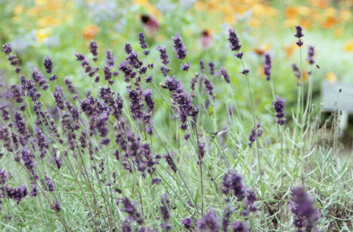 An image of lavender, used with violets to create love amulets.