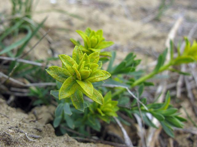 Euphorbia-2