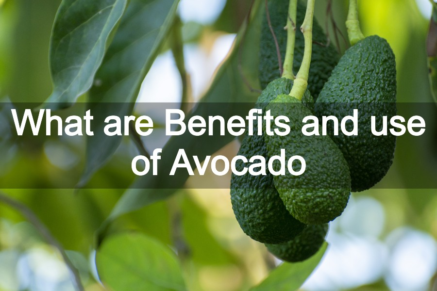 What are Benefits and use of Avocado – All About Avocado Fruit