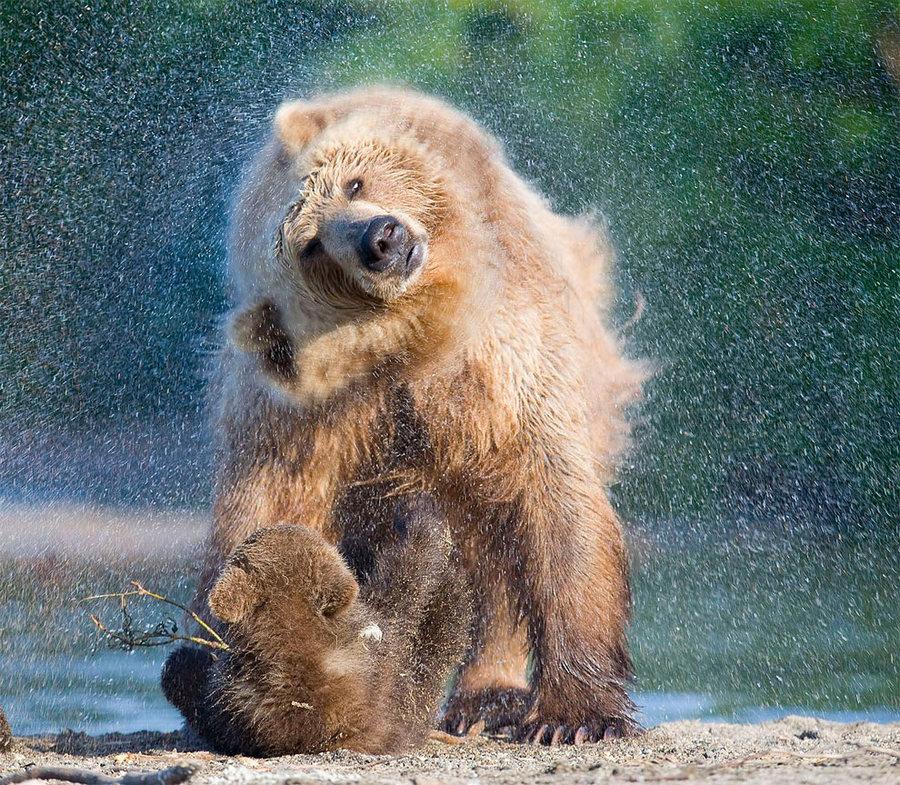 Невероятные фотографии медведей 18