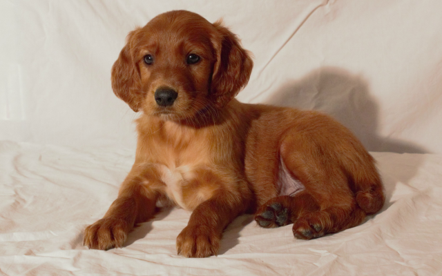 5 Golden Irish Puppies Care Tips