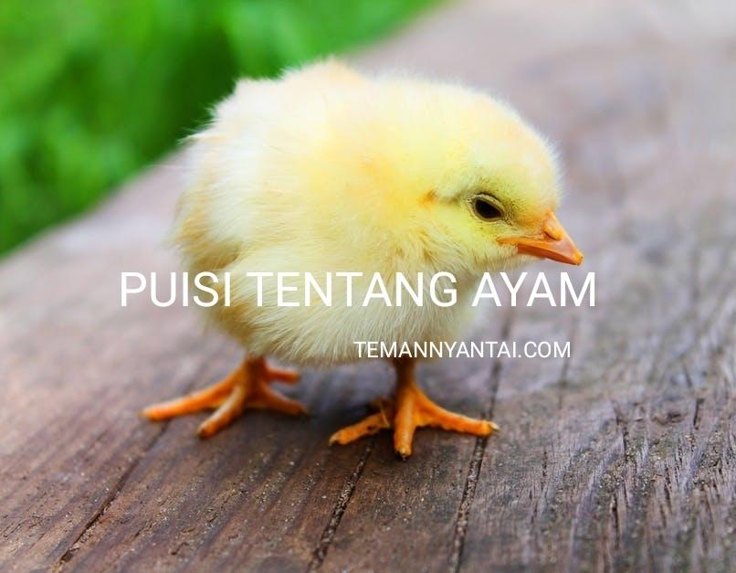 Kumpulan Puisi Tentang Ayam, Ayam Jago, Ayam Peliharaan