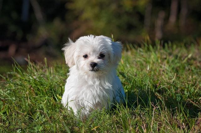 https://i.ibb.co/zhMF2jd/where-to-buy-Pomeranian-puppies.jpg