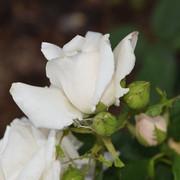 roze14