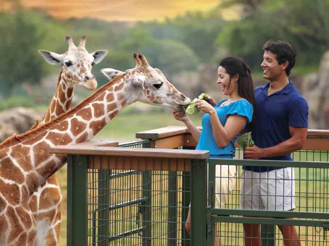 Busch Gardens feeding giraffes