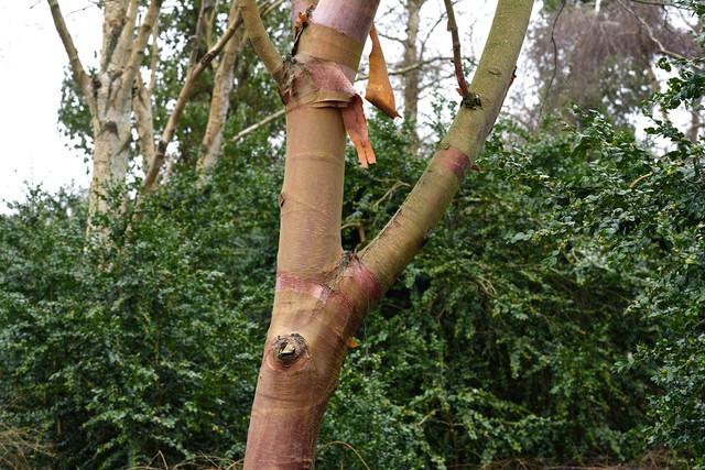 Bild-8-Betula-utilis-ssp-albosinensis-DSC-4566