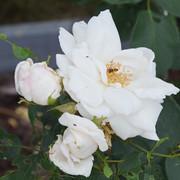 roze13